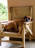 Anyway, who's the boss 'round here. Boxer sitting in his master's chair, on the verandah of a Brazilian fazenda Royalty Free Stock Image
