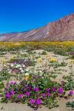 anza borrego加利福尼亚沙漠开花公园状态野生野花 库存图片