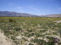 Anza Borrego Desert in bloom Royalty Free Stock Image