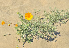 Anza-Borrego Desert: Super Bloom. Due to the heavier than normal rainfall this year, a `super bloom` has occurred in the Anza-Borrego desert. Seeds buried in the Stock Images