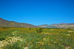Anza Borrego State Park. Wild flower super bloom in the Anza Borrego desert California royalty free stock images