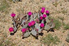 Anza-Borrego Wildflowers Υ στοκ εικόνα με δικαίωμα ελεύθερης χρήσης