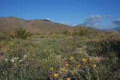 Anza-Borrego Wildflowers Α Στοκ φωτογραφία με δικαίωμα ελεύθερης χρήσης