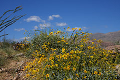 Anza-Borrego Wildflowers X. Wildflowers blooming in Anza-Borrego Desert State Park royalty free stock photo
