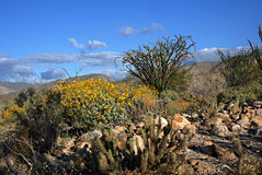 Anza-Borrego Wildflowers F. Wildflowers blooming in Anza-Borrego Desert State Park stock photography