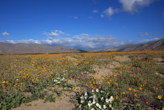 Anza-Borrego Wildflowers J Royalty Free Stock Images