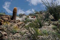 Anza-Borrego Wildflowers U. Wildflowers blooming in Anza-Borrego Desert State Park stock photos