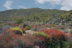 Anza-Borrego Wildflowers V. Wildflowers blooming in Anza-Borrego Desert State Park stock photos