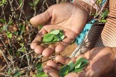 Anziana che mostra i fogli della coca Immagini Stock