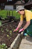 Anziano che pianta i semenzali di verdure Immagine Stock Libera da Diritti