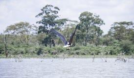 Anziehende Fische des Adlers Stockfotos
