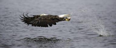 Anziehende Fische des kahlen Adlers Stockfotos