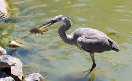 Anziehende Fische des Reihers Lizenzfreies Stockbild