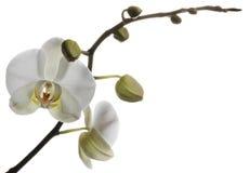 Anziehende weiße Orchideen lokalisiert auf einem weißen Hintergrund Stockbild