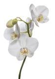 Anziehende weiße Orchideenblumen lokalisiert auf dem weißen Hintergrund Stockfotos