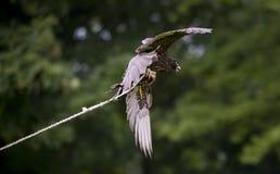 Anziehendes Fleisch des Falken Lizenzfreie Stockbilder