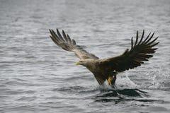 Anziehendes Opfer des Adlers Lizenzfreie Stockfotos
