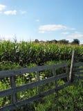 Août Corn-1180 Images stock