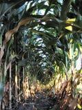 Août Corn-1224 Images libres de droits