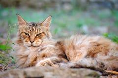 Ao descansar velho, homem Maine Coon do gato da carranca imagem de stock