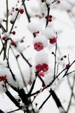 ao-hongmeixue Royaltyfria Bilder