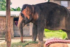 27 août 2014 - éléphant domestique dans Sauraha, Népal Image stock