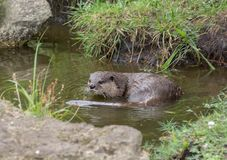 Aonyx or Ambionyx cinereus Small-Clawed Otter in pond with a rocky shore royalty free stock photo