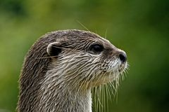 Aonyx cinerea, Asian Otter Stock Images