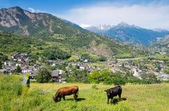 Aosta Valley. Italy. Pasturing bulls in Aosta Valley. Italian Alps Stock Photo