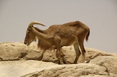 Free Aoudad (Ammotragus Lervia) Stock Photo - 31091930