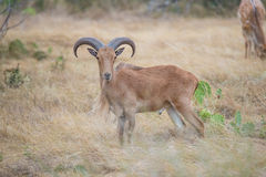 Aoudad Ram Broadside Royalty Free Stock Images