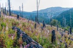 Após o incêndio florestal fotografia de stock