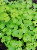 Após uma chuva do verão a foto macro da água deixa cair o orvalho nas hastes e nas folhas de plantas verdes Foto de Stock Royalty Free