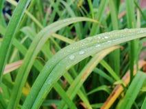 Após uma chuva do verão a foto macro da água deixa cair o orvalho nas hastes e nas folhas de plantas verdes Imagem de Stock Royalty Free