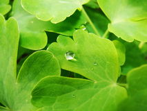 Após uma chuva do verão a foto macro da água deixa cair o orvalho nas hastes e nas folhas de plantas verdes Imagens de Stock Royalty Free
