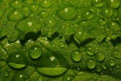 Após uma chuva do verão a foto macro da água deixa cair (orvalho) nas hastes e nas folhas de plantas verdes Fotos de Stock Royalty Free
