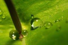 Após uma chuva do verão a foto macro da água deixa cair (orvalho) nas hastes e nas folhas de plantas verdes Fotografia de Stock Royalty Free
