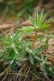 Após uma chuva do verão a foto macro da água deixa cair (orvalho) nas hastes e nas folhas de plantas verdes Imagem de Stock