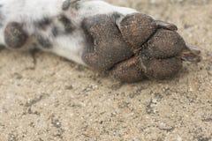 łapa brudnego psa Fotografia Royalty Free