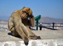 Apa eller apa Barbary på Gibraltar Royaltyfria Bilder