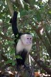apa för capuchin ii Royaltyfri Bild