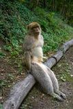 Apa för macaque för sylvanus för macaca för Barbary apor Royaltyfri Foto