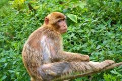 Apa för macaque för sylvanus för macaca för Barbary apor Fotografering för Bildbyråer