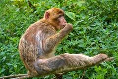 Apa för macaque för sylvanus för macaca för Barbary apor Arkivfoto