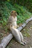Apa för macaque för sylvanus för macaca för Barbary apor Arkivfoton