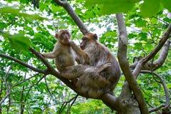 Apa för macaque för sylvanus för macaca för Barbary apor royaltyfria bilder