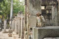 Apa i Angkor Wat Kambodja Royaltyfri Foto