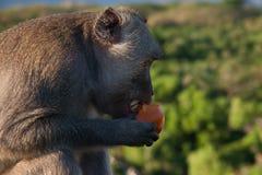 Apa i Bali som äter en tomat Arkivfoto