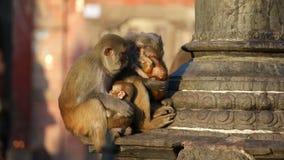 Apa i buddistisk tempel i Katmandu arkivfilmer
