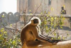 Apa i det Jaipur fortet Arkivfoton